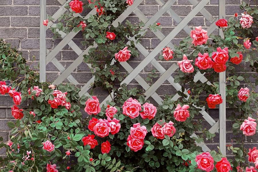 krzewy róż pnących